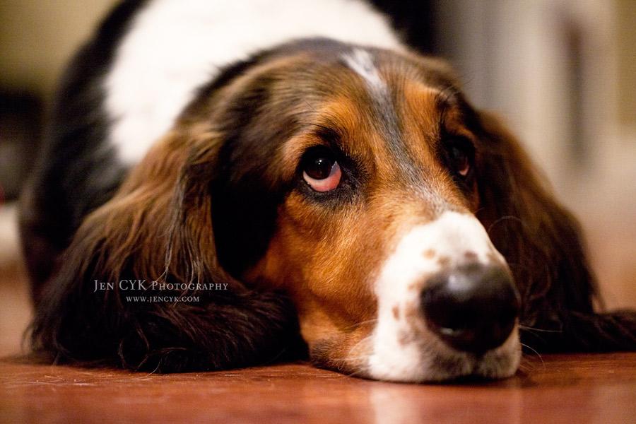 Pretty Bassett Hound